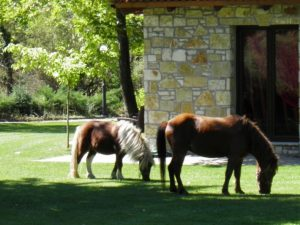 the horses grazing on the meadow