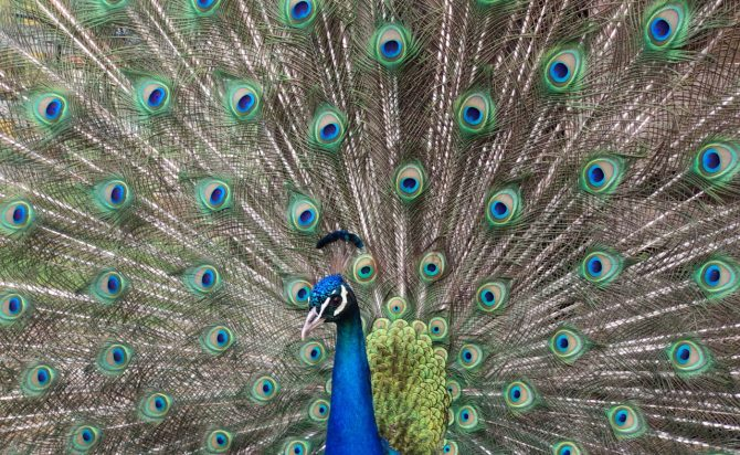 peacock with tale open