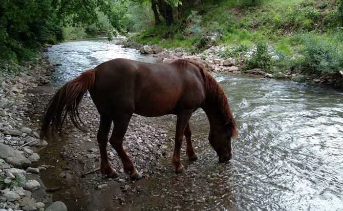 Horse in the river drinking water