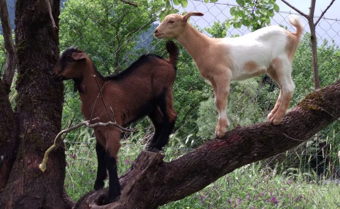 happy goats clinbing the tree